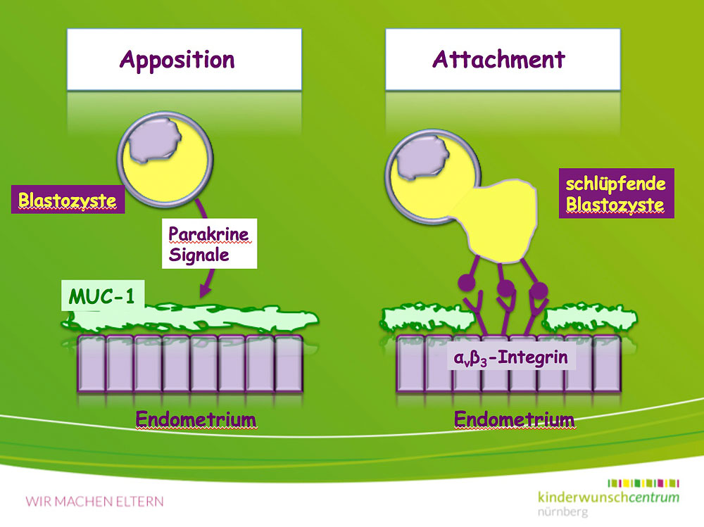 Implantation, Einnistung, Embryo, hatching, Apposition, Attachment